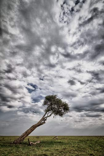 lone tree leaning over the mara