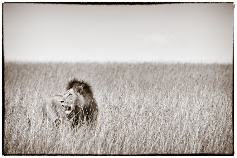 hunting lion in long grass