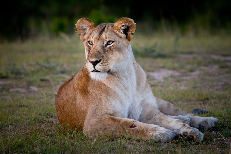 lioness waking up for evening hunt